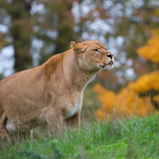 """""""Lioness in a clearing"""" stock image"""