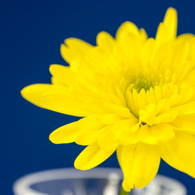 """Yellow Chrysanthemum on a blue background."" stock image"