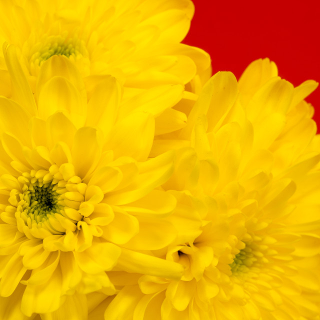 """""""Yellow Chrysanthemums on a red background."""" stock image"""