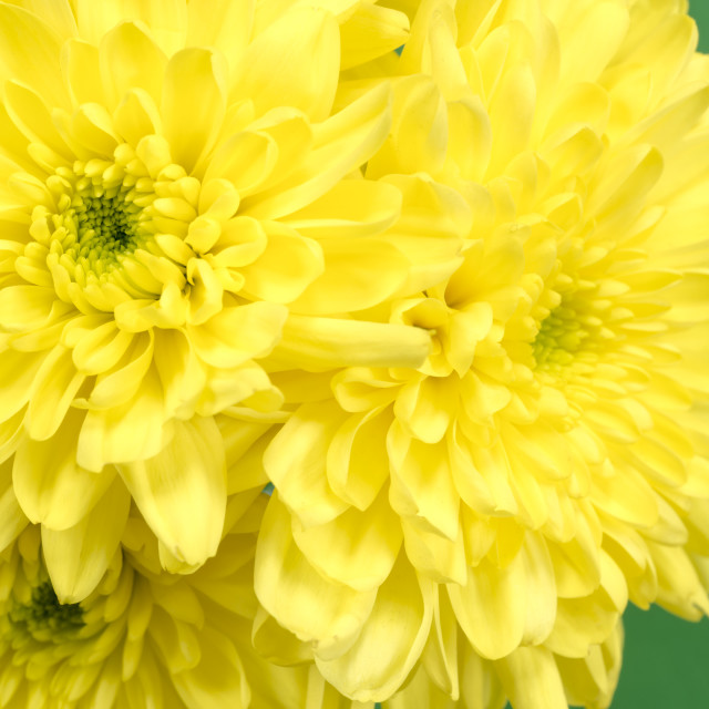 """""""Yellow Chrysanthemums on a green background."""" stock image"""