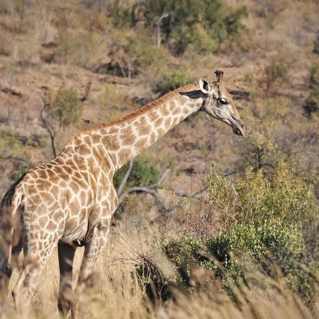 """WCC_0809- Giraffe"" stock image"