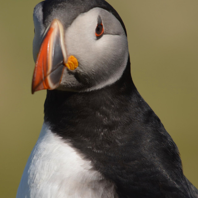 """""""Puffin"""" stock image"""