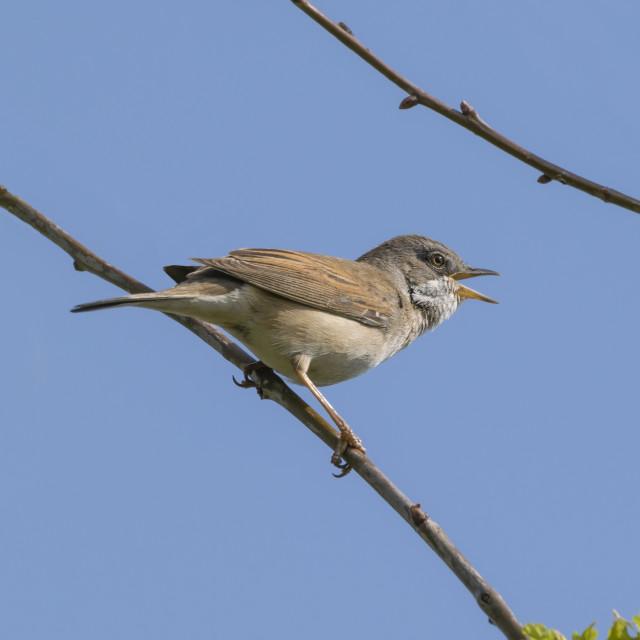 """Whitethroat Bird Singing"" stock image"