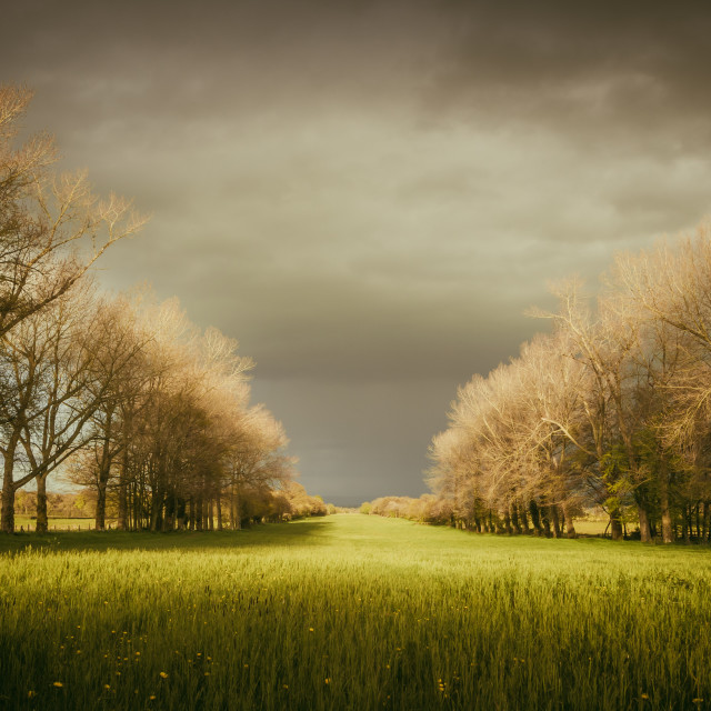 """""""A flower meadow avenue of trees"""" stock image"""