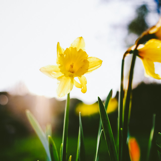 """Neon Experience (Daffodil)"" stock image"