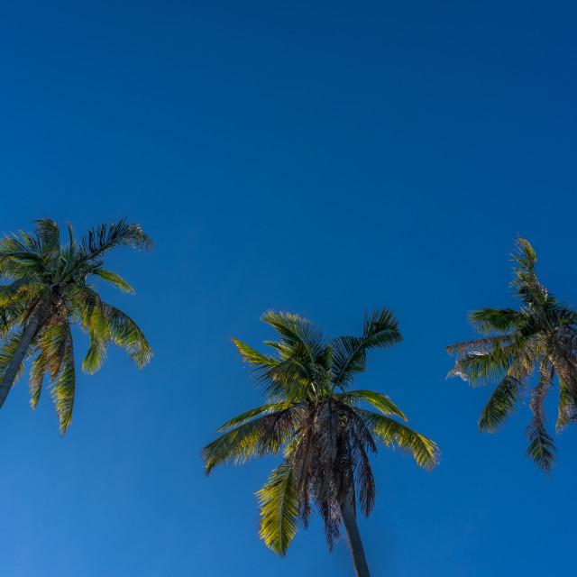 """Coconut trees"" stock image"