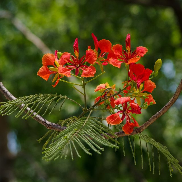"""""""Flamboyant flowers with nature background"""" stock image"""