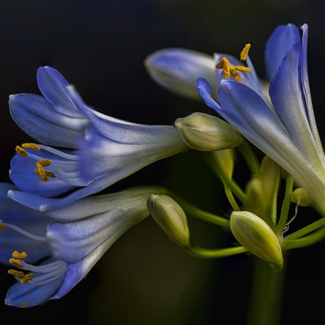"""agapapnthus flowers"" stock image"