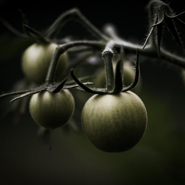 """Tomato vine"" stock image"