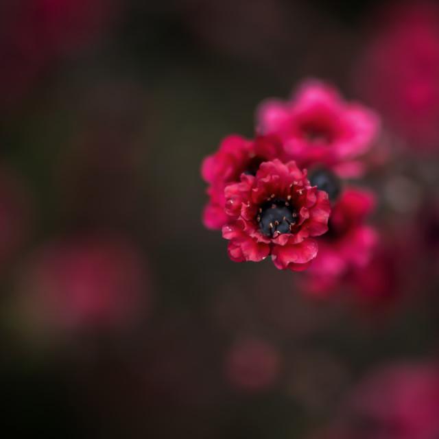 """Red Teatree flower"" stock image"
