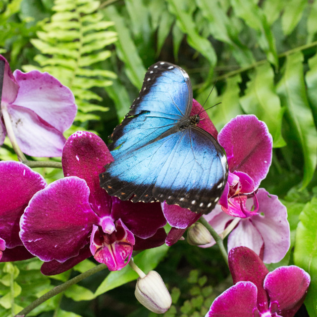 """Morpho butterfly on orchid"" stock image"