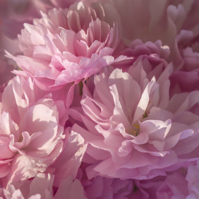 """Pink Blossom Background"" stock image"