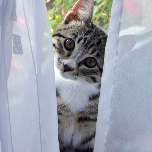 """Kitty Behind the Curtain"" stock image"