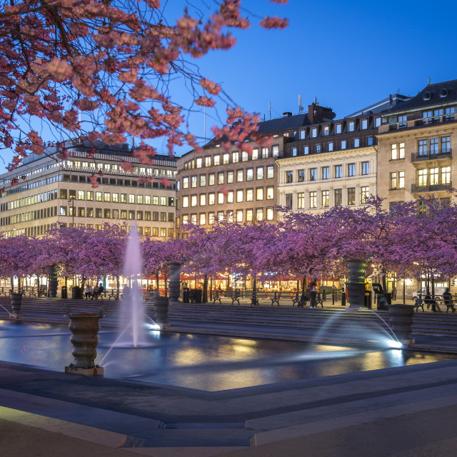 """Cherry blossom in Stockholm."" stock image"