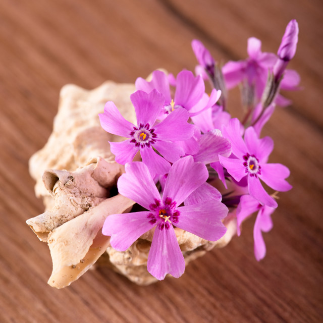 """Several pink carnations placed in seashell"" stock image"