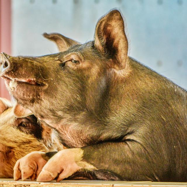 """""""Happy pigs"""" stock image"""