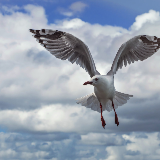 """""""Flying Seagull"""" stock image"""