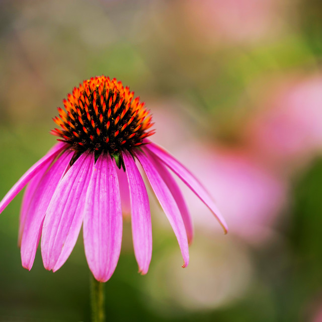 """Cone-Flower"" stock image"