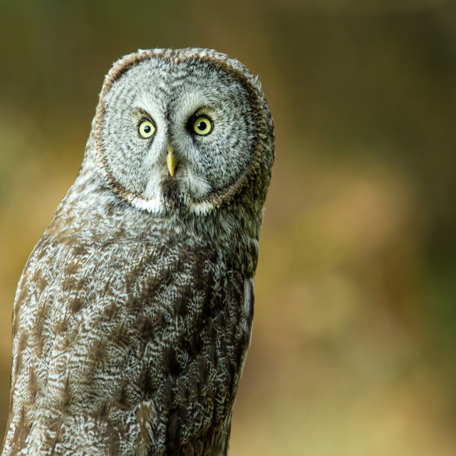 """Wild Owl in Nature"" stock image"