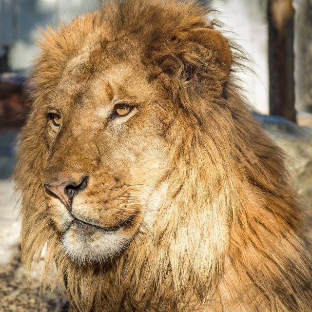 """""""Lion Portrait, Color Image"""" stock image"""