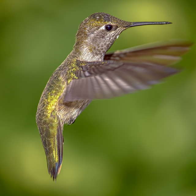 """Hummingbird in Flight, Color Image, Day"" stock image"