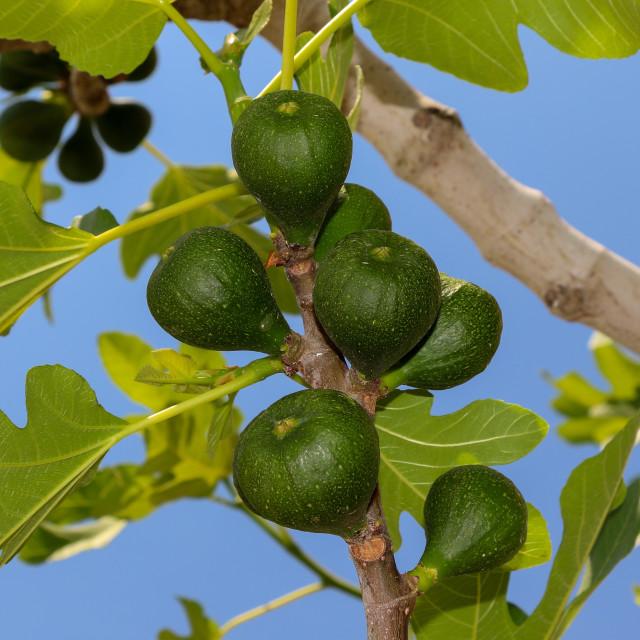 """Fig tree"" stock image"