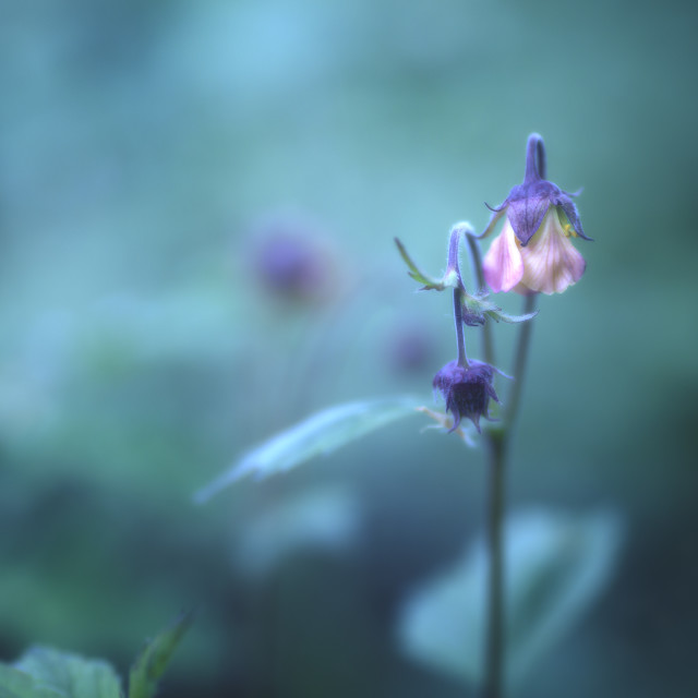 """Water Avens in blue"" stock image"