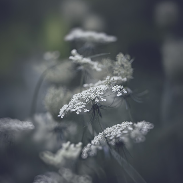 """""""Queen ann lace"""" stock image"""