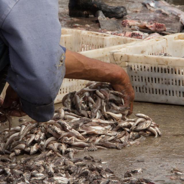 """Fisherman sorting sardines, Port of Essaouira, Morocco"" stock image"