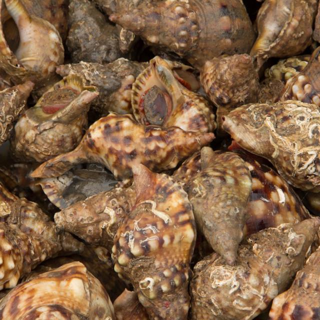 """Fresh shells, Port of Essaouira, Morocco"" stock image"
