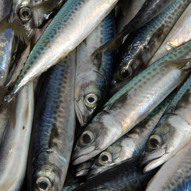 """Sardines, Port of Essaouira, Morocco"" stock image"