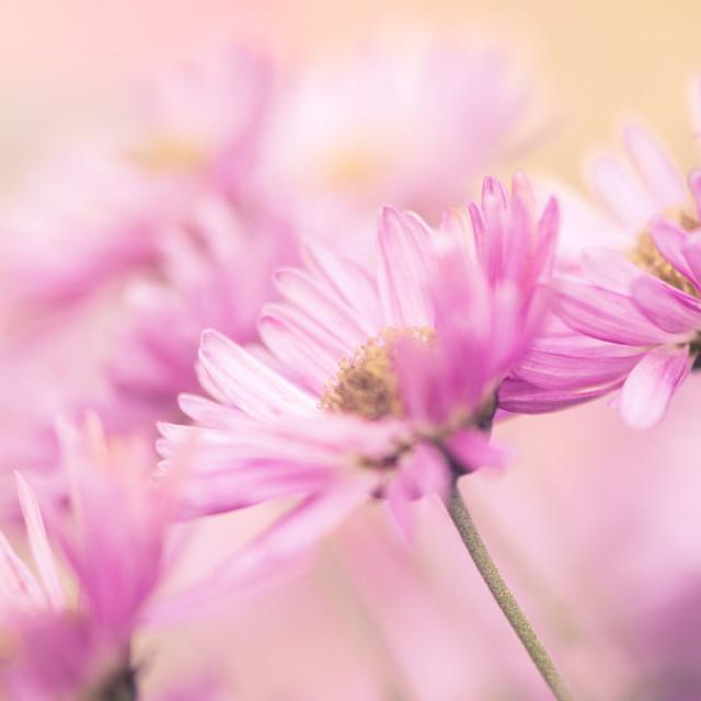 """Pink Daisies"" stock image"