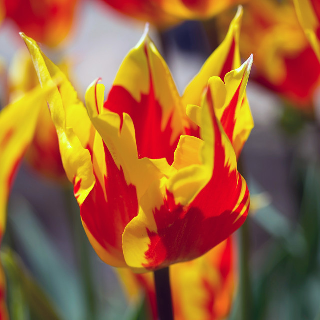 """Tulip: red, yellow"" stock image"
