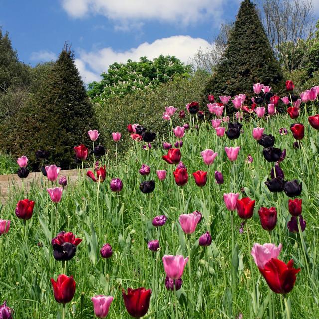 """Tulip hill"" stock image"