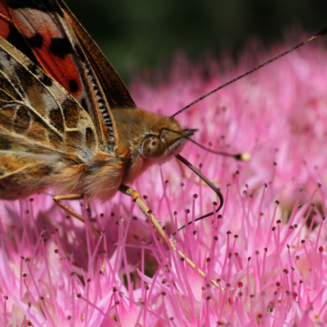 """Painted Lady - Vanessa cardui"" stock image"