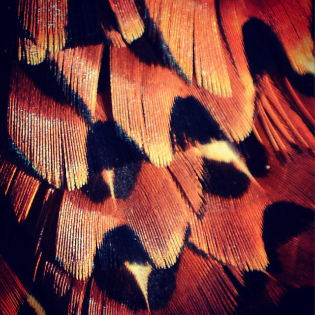 """Pheasant feathers"" stock image"