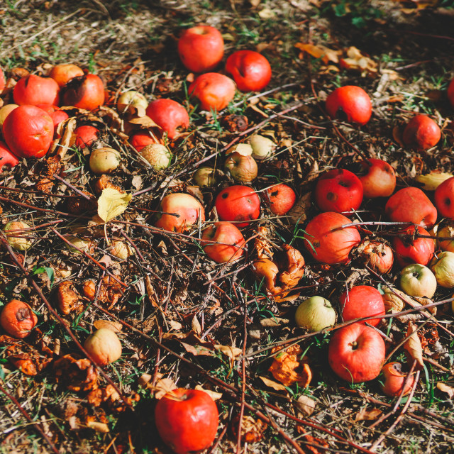 """Fallen apples on the ground"" stock image"