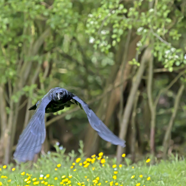 """""""A Crow Flying Over a Meadow."""" stock image"""