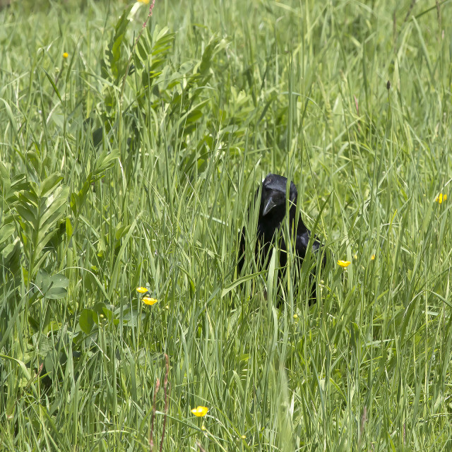 """""""A Crow in a Meadow 2."""" stock image"""