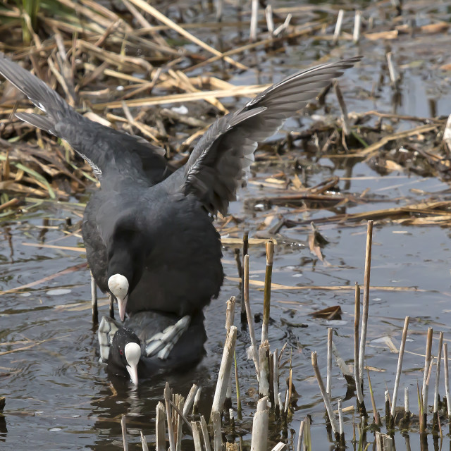 """""""Coots Mating."""" stock image"""