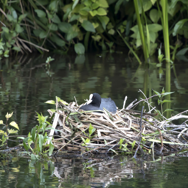 """""""A Coot on a nest."""" stock image"""