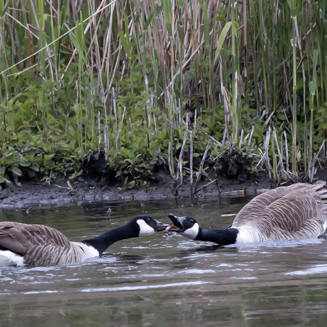 """""""Two Canada Geese greeting each other."""" stock image"""