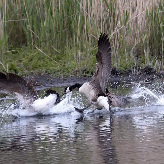 """Canada Goose Fight."" stock image"