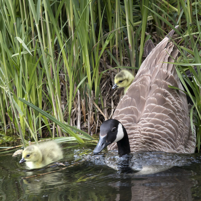 """""""A Canada Goose with two goslings."""" stock image"""