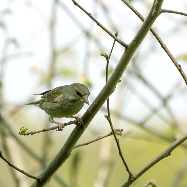 """""""Greenfinch 3."""" stock image"""