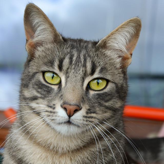 """Tabby Cat 1"" stock image"