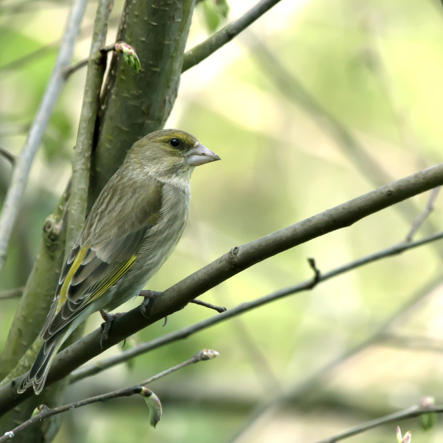 """""""Greenfinch 2."""" stock image"""