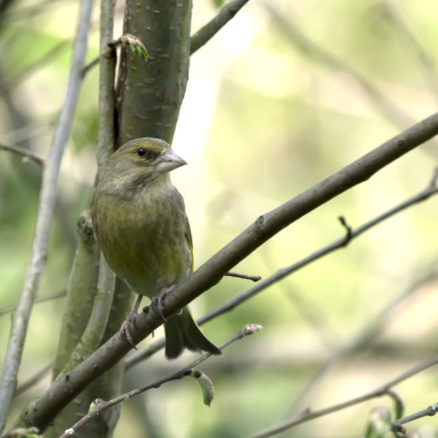"""""""Greenfinch 1."""" stock image"""