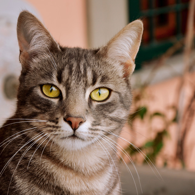 """Tabby Cat 2"" stock image"
