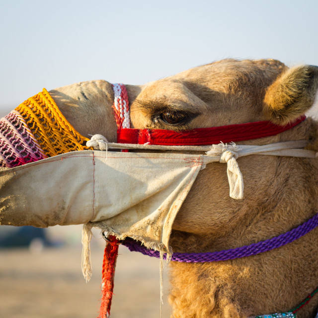 """Camel, Qatar Desert"" stock image"